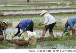 Women working in Mekong Delta fields, which produce nearly half of the country's rice