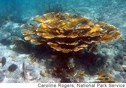 Increasing acidification of the Caribbean Sea makes it difficult for Elkhorn coral to reproduce